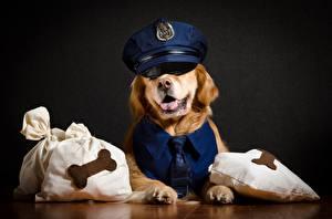 Обои Собаки Золотистый ретривер Шляпа Полицейские Животные картинки