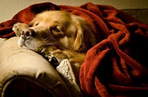 Фотография Собаки Голден Спящий Морда Животные