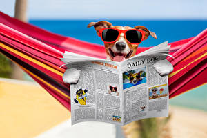 Картинки Собака Джек-рассел-терьер Очках Газеты Смешные Гамак Животные