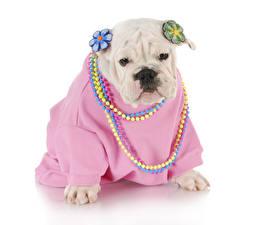 Фотография Собаки Украшения Белый фон Бульдог Униформа Животные
