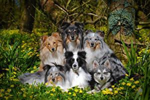 Картинка Собаки Много Колли Взгляд