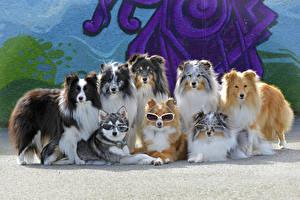 Фотография Собаки Много Колли Очки Животные