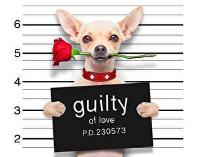 Фотография Собаки Розы Белый фон Английский Чихуахуа Красный Смешные qiulty of love