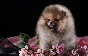 Картинки Собака Шпица Пушистый животное