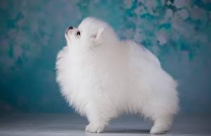Картинка Собаки Шпиц Белый