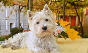 Картинка Собаки Вест хайленд уайт терьер Белый Смотрит Животные
