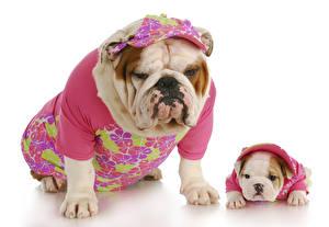 Картинка Собака Одежда Два Двое Бульдог Щенок Униформа Животные