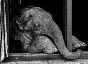Фото Слоны Черно белое Животные