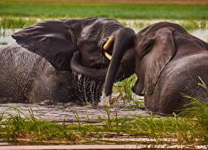 Обои Слоны Вода Вдвоем Драка Животные