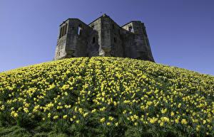 Картинки Англия Замки Руины Нарциссы Холмы Warkworth Castle