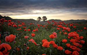 Картинки Поля Рассветы и закаты Маки Бутон Природа Цветы