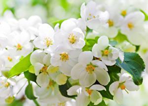 Фотографии Цветущие деревья Вблизи Ветвь Цветы