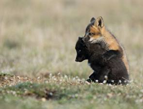 Картинка Лисица Детеныши Двое Черная Животные