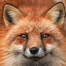Картинка Лисица Морда Смотрит Усы Вибриссы Животные
