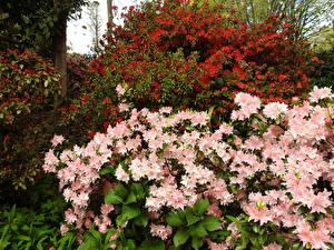 Обои Сады Рододендрон Кусты George Tindale Memorial Garden Sherbrooke