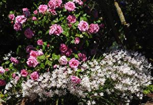 Фото Сады Розы Альстрёмерия Ballarat Botanic Gardens Цветы