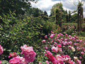 Обои Сады Розы Кусты Queen Mary's Gardens