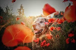 Картинки Золотистый ретривер Маки Собаки животное Цветы