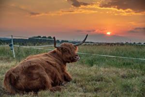 Обои Луга Быки Рассветы и закаты Животные