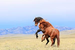 Фото Лошади Двое Животные