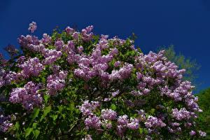 Картинки Сирень Ветвь Цветы