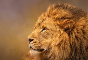 Фотографии Львы Морда Животные