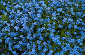 Фотографии Много Голубой Myosotis Цветы