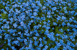 Фотографии Много Голубая Цветок Цветы