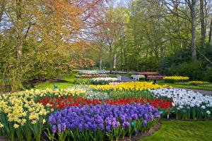 Фотографии Нидерланды Парки Нарциссы Гиацинты Дизайн Keukenhof Lisse Природа