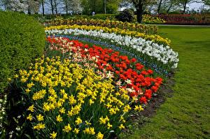 Фотографии Нидерланды Парки Нарциссы Тюльпаны Дизайн Газон Keukenhof Lisse Природа Цветы
