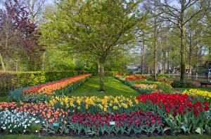 Фотография Нидерланды Парки Тюльпаны Нарциссы Деревья Дизайн Keukenhof Lisse Природа