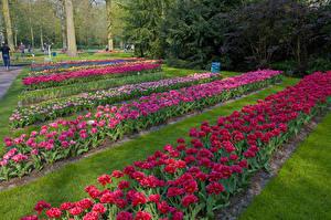 Фото Нидерланды Парки Тюльпаны Keukenhof Lisse Природа