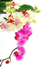 Фотографии Орхидеи Крупным планом Белый фон Цветы
