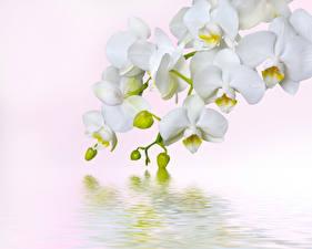 Картинка Орхидеи Воде Белым фоном Белая Цветы