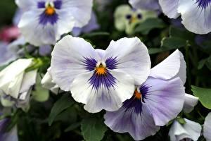 Фото Анютины глазки Вблизи Белый Цветы
