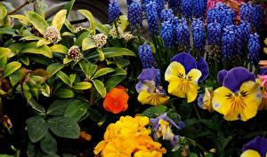 Картинка Фиалка трёхцветная Гиацинты Цветы