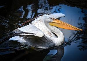 Фотографии Пеликаны Птицы Клюв