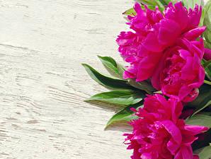 Картинки Пионы Крупным планом Розовый Цветы