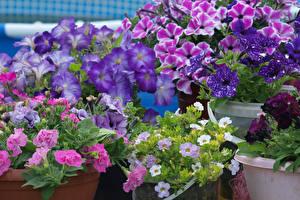 Фотографии Петуния Крупным планом Разноцветные Цветы