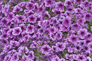 Картинки Петунья Много Вблизи Фиолетовый цветок