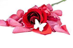 Картинка Розы Бабочки Белый фон Красный Лепестки Цветы