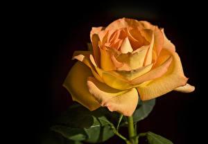 Картинка Роза Вблизи На черном фоне Оранжевые цветок