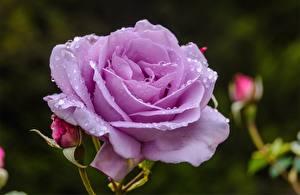 Обои Розы Крупным планом Капли Цветы