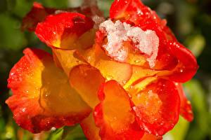 Фото Розы Вблизи Капли Лед Цветы
