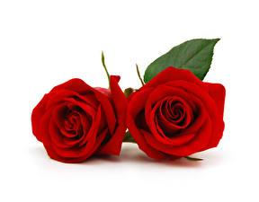 Картинки Розы Вблизи Белый фон 2 Красный Цветы
