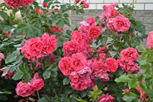 Фотография Розы Розовый Цветы