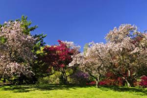 Фотография Весенние Цветущие деревья Парки Газон