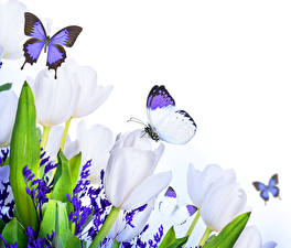 Картинка Тюльпан Бабочка Белым фоном Белая цветок