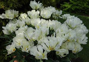 Фотография Тюльпаны Крупным планом Белый Exotic Emperor цветок