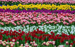 Картинка Тюльпаны Много Разноцветные Цветы